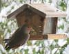 Northern flicker on feeder in snow 3