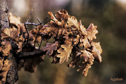 Oak leaves,... by lujaban