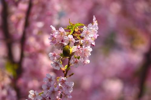 桜とメジロ その2 by leicadaisuki