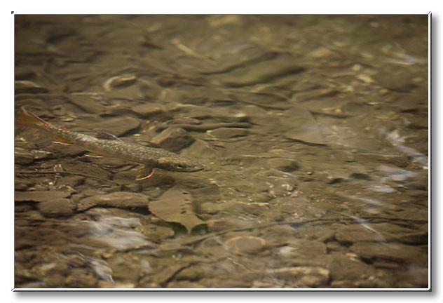 ゆっくりと泳ぐ2年目のゴギ.ヒレの端がきれいなオレンジ色に染まっていた.