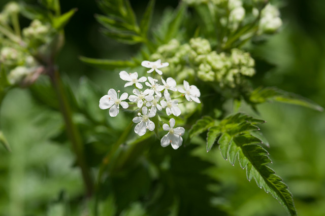 163: Cow Parsley