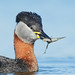 Red-necked Grebe Podiceps grisegna by Iain Leach