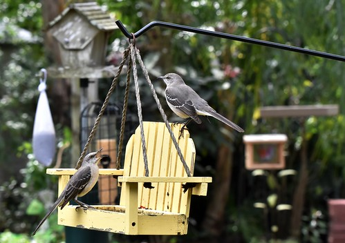 Northern Mockingbirds DSC_0175