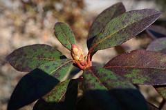 Rhododendron x myrtifolium (Myrtle Rhododendron)