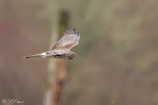 Northern Harrier | by Scrumhalf