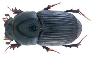 Eupleurus subterraneus (Linné, 1758) Syn.: Aphodius (Eupleurus) subterraneus (Linné, 1758)