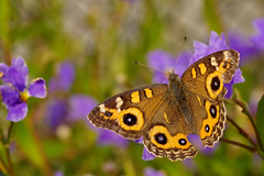 Junonia villida on Dampiera stricta