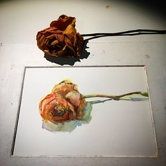 Day 594. The #rose #painting for today. #watercolour #watercolourakolamble #sketching #stilllife #flower #art #fabrianoartistico #hotpress #paper #dailyproject