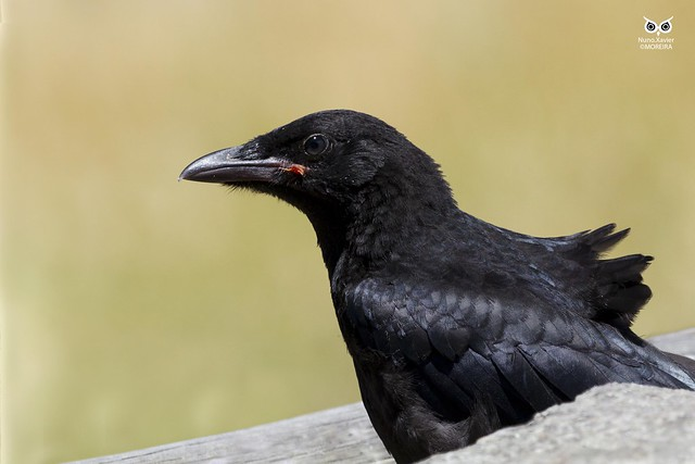 Gralha-preta, Carrion Crow (Corvus corone)