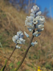 Hyacinthella leucophaea