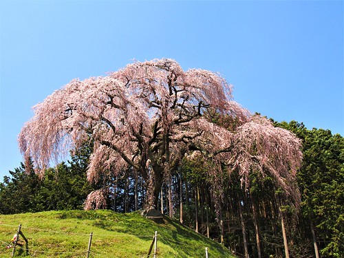 Otsugatsuma Weeping cherry tree/乙ケ妻のしだれ桜