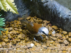 Memphis Zoo 08-31-2016 - White-crested Laughing Thrush 1