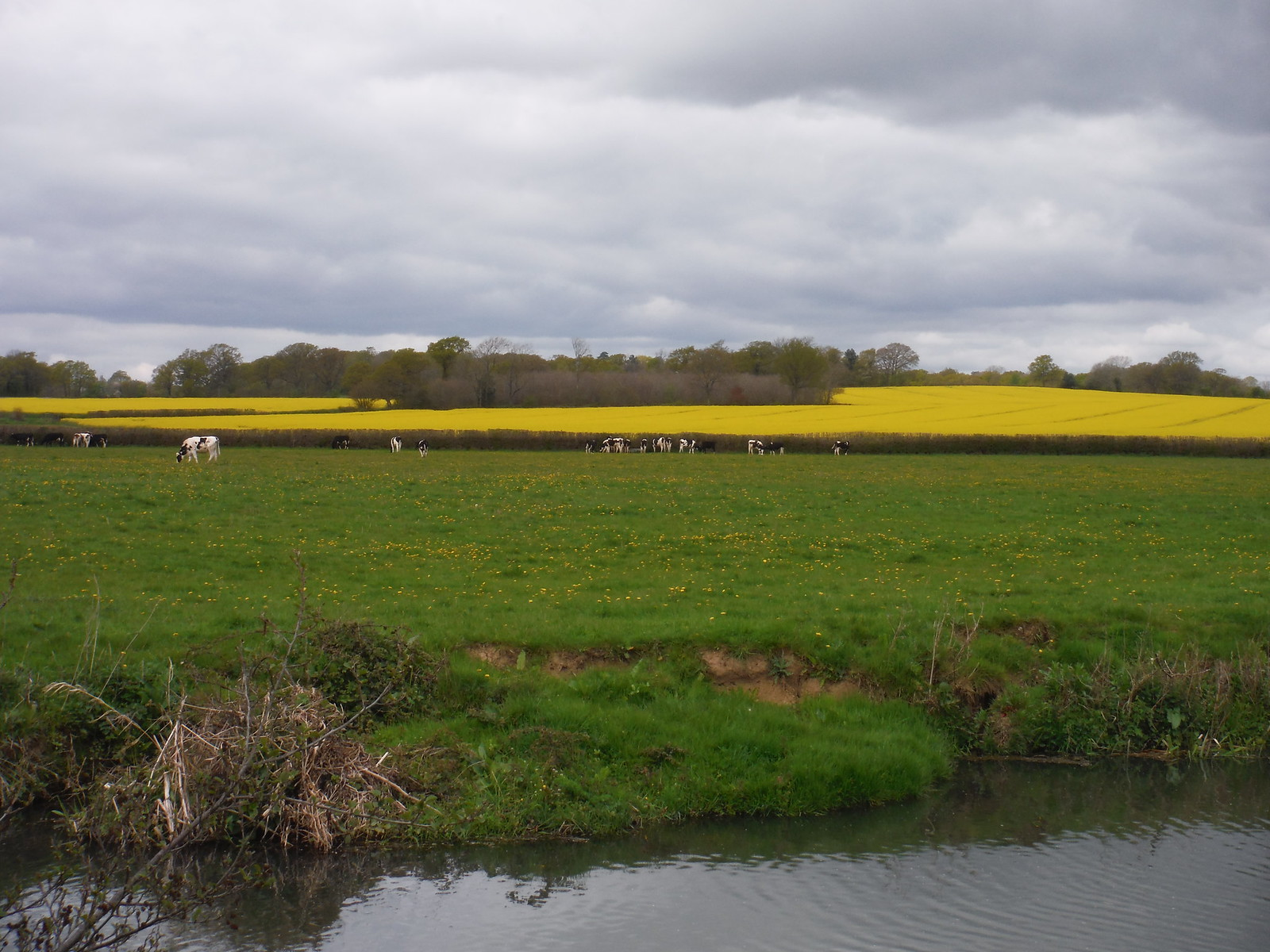 Rape Oilseed Field beyond the River Ouse, north of The Anchor Inn & Boating SWC Walk 272 Uckfield to Lewes
