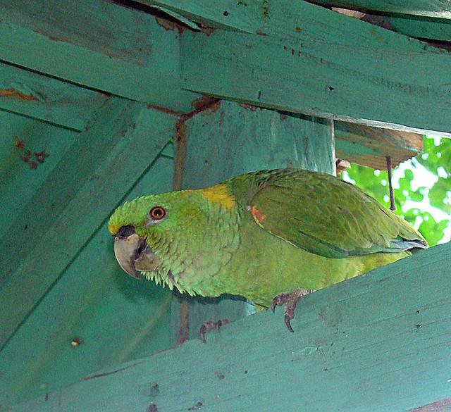 Header of Amazona auropalliata
