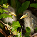 Little Green Heron Chicks by Birdwatcher 1406(Bill Eaton)