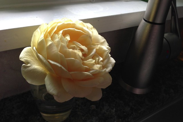 Yellow Rose in the Kitchen
