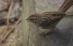 animal, sparrow, ortolan bunting, fauna, finch, emberizidae, beak, house sparrow, bird, lark, wildlife,