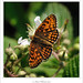 Heath Fritillary by Paul_Wheeler