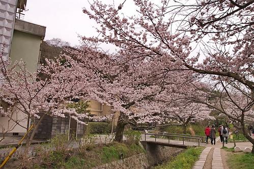 【写真】2013 桜 : 哲学の道/2018-12-24/IMGP9228