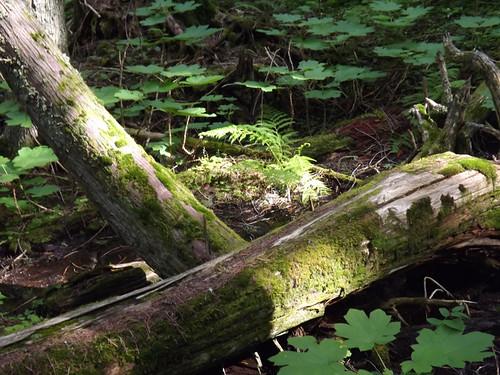 mossy logs 018
