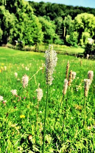 Hoary Plantain flower
