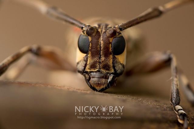 Longhorn Beetle (Cerambycidae) - DSC_1466