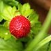 Wilde Erdbeere by gutlaunefotos ☮