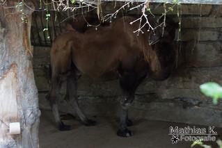 Zweihöckriges Kamel