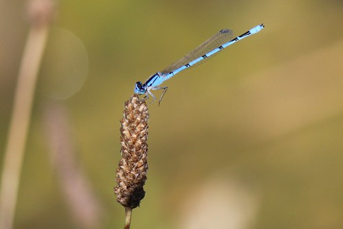 IMG_0897_Turquoise_Bluet_Damselfly_at_Ouabache