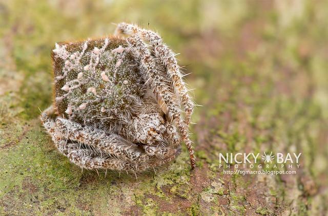 Garden Spider (Eriovixia sp.) - DSC_2104