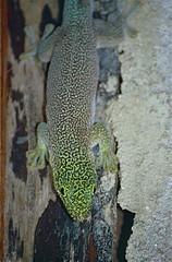 Standing's Day Gecko (Phelsuma standingi) (captive specimen)