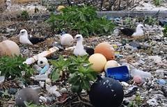 雖然中途島地處偏遠,且被劃定為國家海洋保護區,信天翁的築巢棲息地堆滿塑膠垃圾。(照片:Steven Siegel/Marine Photobank。)