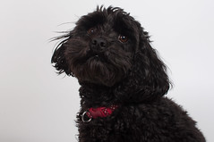 toy poodle, miniature poodle, dog breed, animal, puppy, dog, schnoodle, pet, mammal, bolonka, poodle crossbreed, havanese, cockapoo, portuguese water dog, cavapoo, barbet, affenpinscher, black,