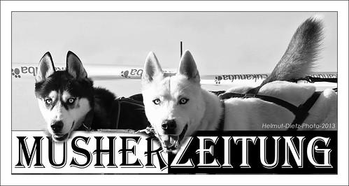 Auge in Auge mit Siberian Husky - Schlittenhunden beim Schlittenhunderennen im Tierpark Ströhen