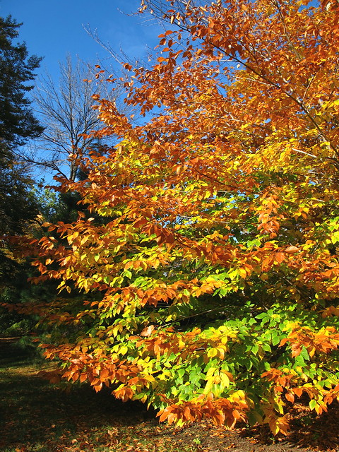 Fagus Definition Meaning