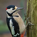 DSCF3550 Great spotted woodpecker (male) by Steve_Herring
