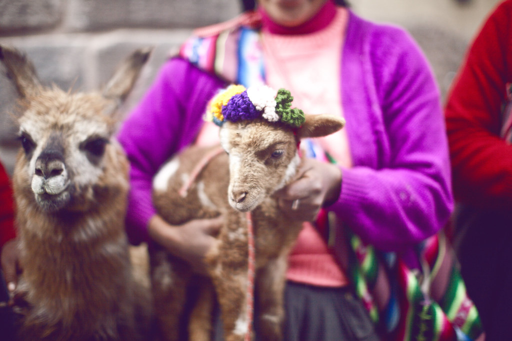 traditional Inca woman of Peru with a baby lamb