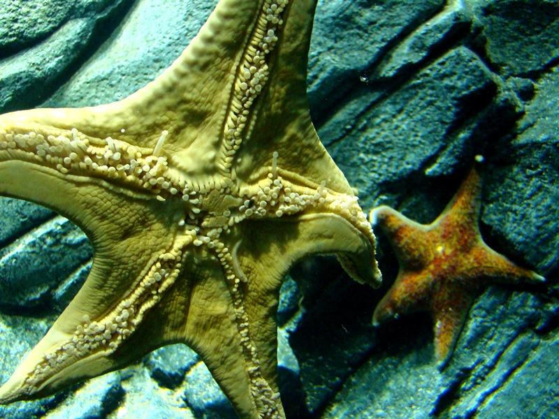 Ripley's Aquarium starfish