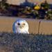 Snowy Owl Peekaboo by Brian E Kushner