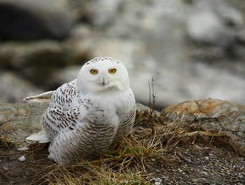 Snowy Owl by jbmikmaq