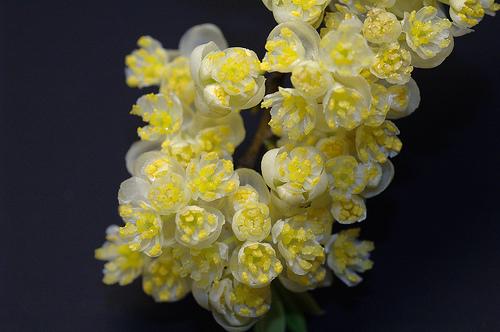 馬告雄花(圖片作者:mutolisp,圖片來源:http://www.flickr.com/photos/29746011@N00/2332180035/,本圖符合CC授權使用 )生物多樣性