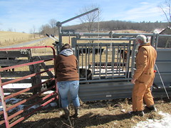 Working cattle 02012014 (9)