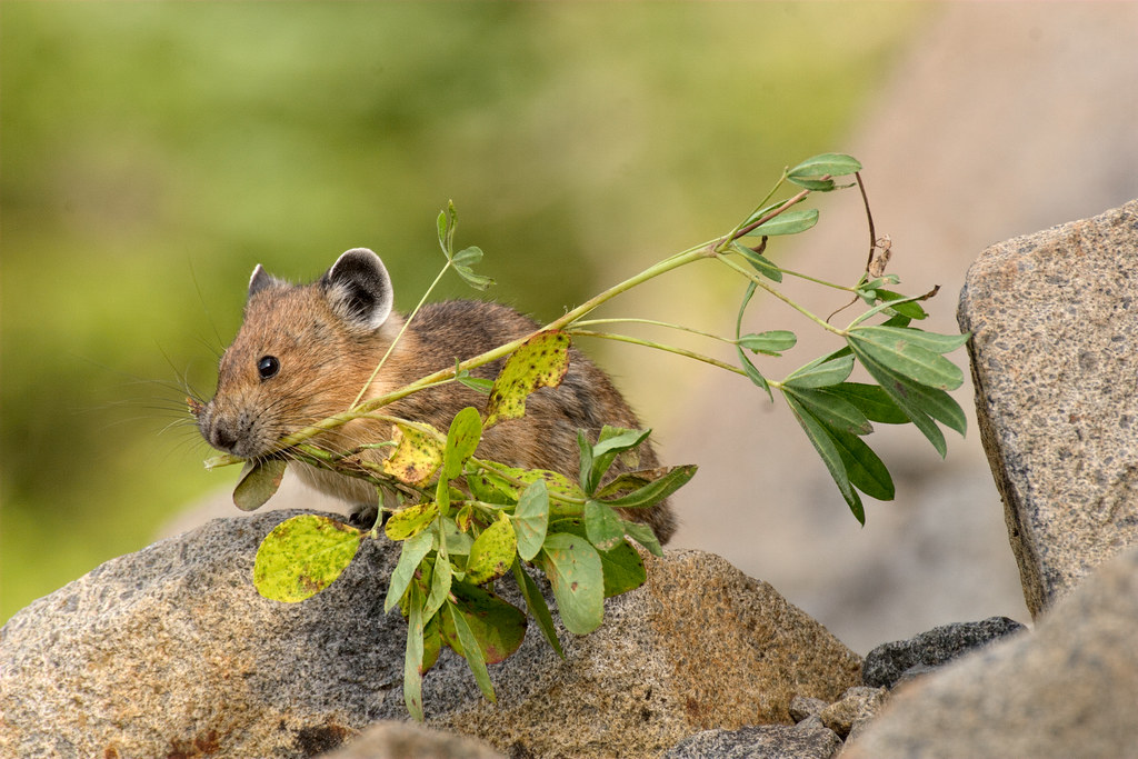An American pika with twigs in its mouth on the Pinnacle Peak Trail in the Paradise area of Mount Rainier National Park