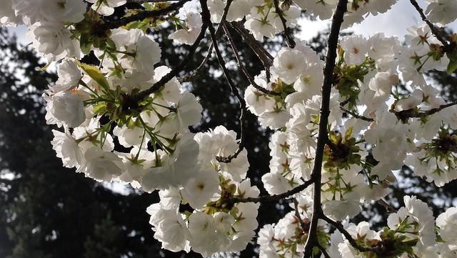 White bursts against evergreen