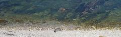 Sunbathing Pebble Island, costa de Isla Pebble