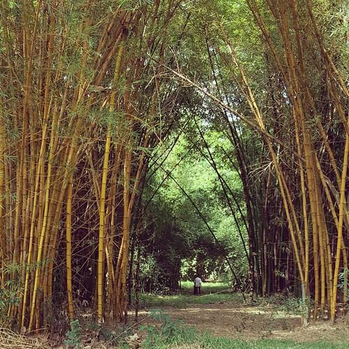Coleção de Bambus da UDP de Tatui da SMA/SP, Primeiro plano Bambusa vulgaris Schrad. ex J.C.Wendl  f. vittata (Rivière & C.Rivière) McClure. Ou Bambu rajado