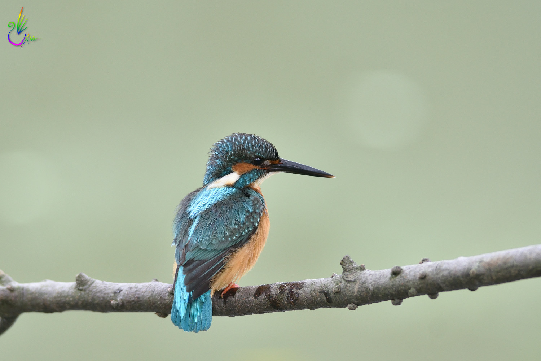 Common_Kingfisher_4459