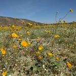 Wildflowers at Anza-Borrego