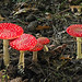 Fly Agaric  (Amanita muscaria)