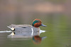 Green-winged teal - Sarcelle d'hiver - Anas crecca